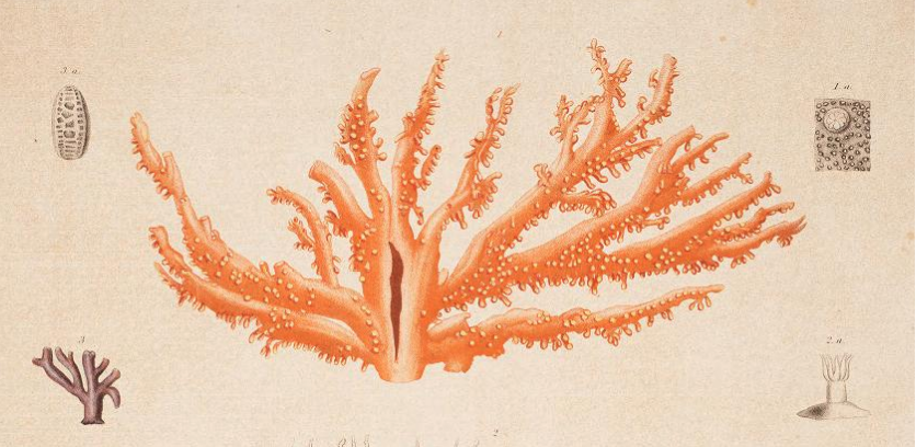 Drawing of coral.